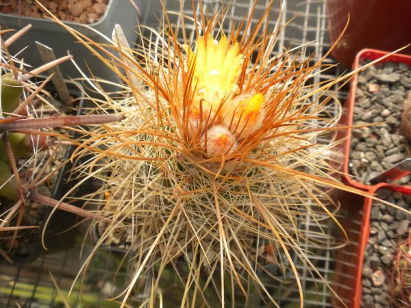 Правильный уход за кактусами зимой  FloweryValeru
